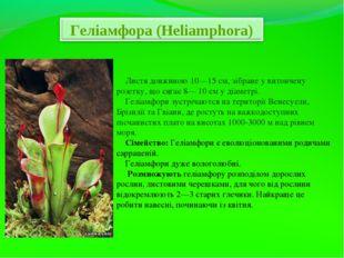 Листя довжиною 10—15 см, зібране у витончену розетку, що сягає 8— 10 см у ді