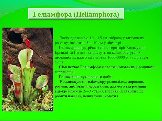 Листя довжиною 10—15 см, зібране у витончену розетку, що сягає 8— 10 см у ді...