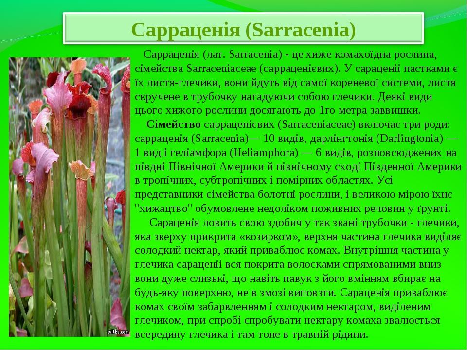 Сарраценія (лат. Sarracenia) - це хиже комахоїдна рослина, сімейства Sarrace...