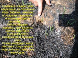 Травяные пожары губят насекомых, их личинки и яйца: бабочек, шмелей, ос и дру