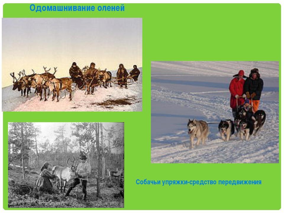 Одомашнивание оленей Собачьи упряжки-средство передвижения