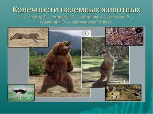 Конечности наземных животных 1 — гепард; 2 — медведь; 3 — кузнечик; 4 — кенгу