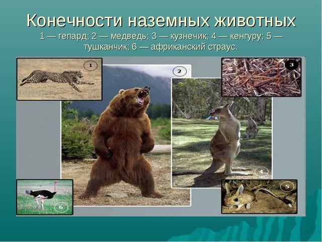 Конечности наземных животных 1 — гепард; 2 — медведь; 3 — кузнечик; 4 — кенгу...
