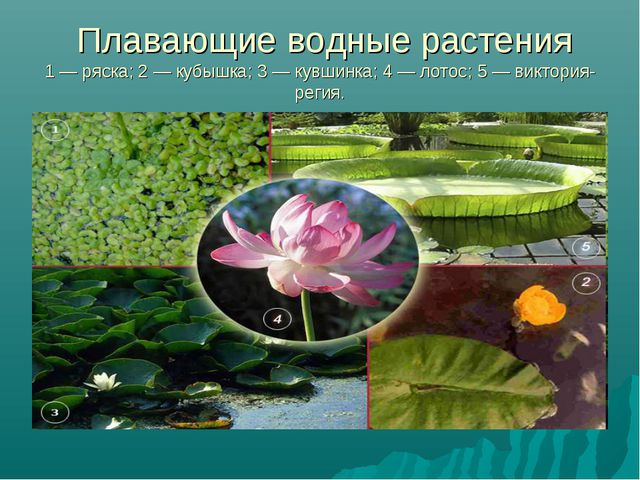 Плавающие водные растения 1 — ряска; 2 — кубышка; 3 — кувшинка; 4 — лотос; 5...