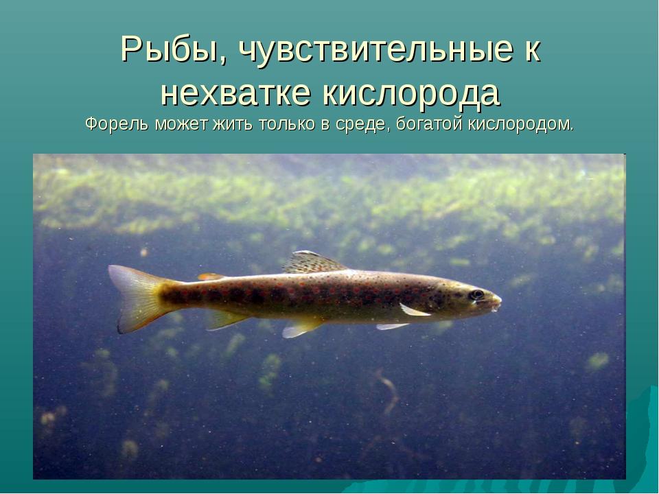 Рыбы, чувствительные к нехватке кислорода Форель может жить только в среде, б...