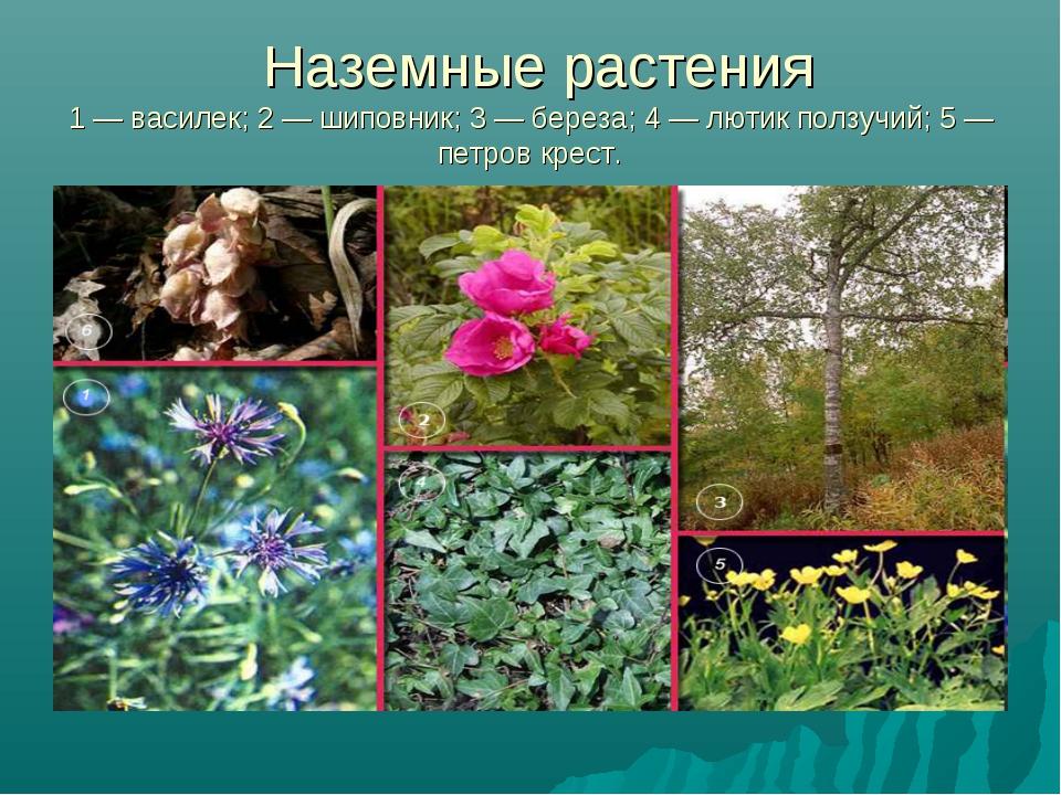 Наземные растения 1 — василек; 2 — шиповник; 3 — береза; 4 — лютик ползучий;...