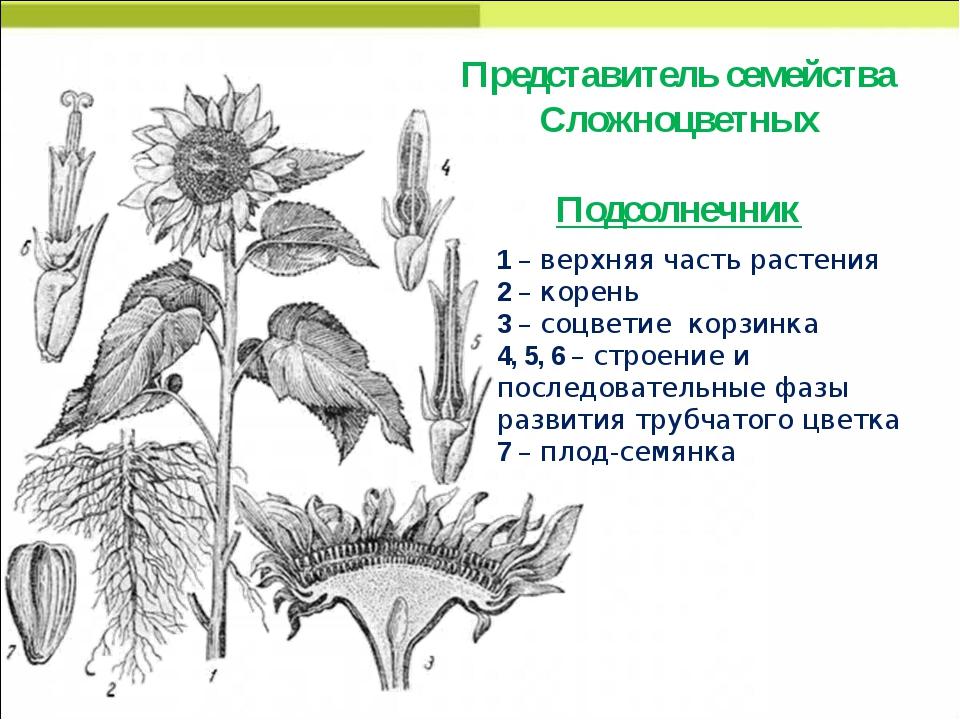 Представитель семейства Сложноцветных Подсолнечник 1 – верхняя часть растения...