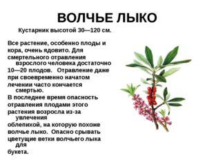 ВОЛЧЬЕ ЛЫКО Кустарник высотой 30—120 см. Все растение, особенно плоды и кора,