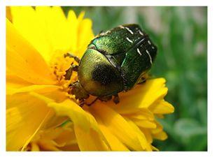 Не случайно образ жука связан с небом и солнцем. Всем известно, что прилёт ма