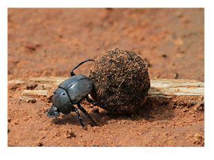 Древнем Египте навозный жук скарабей считался священным. Он откладывал свои л