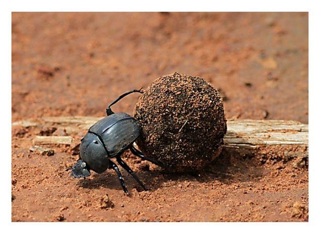 Древнем Египте навозный жук скарабей считался священным. Он откладывал свои л...