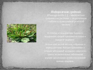 Подорожник средний (Plantago media L.) - многолетнее травянистое растение с