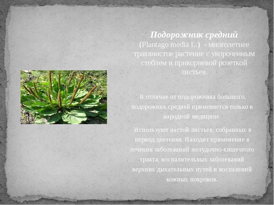 Подорожник средний (Plantago media L.) - многолетнее травянистое растение с...