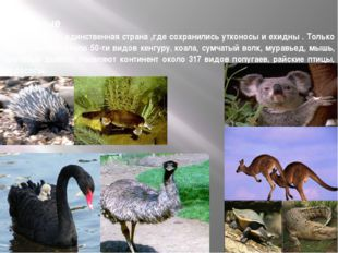 Животные Австралия — единственная страна ,где сохранились утконосы и ехидны .