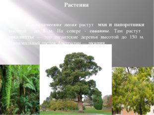 Растения  В тропических лесах растут мхи и папоротники высотой до 8 м. На с