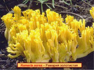 Ramaria aurea – Рамария золотистая