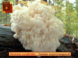 Hericium coralloides – Ежевик коралловидный