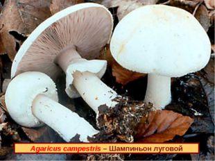 Agaricus campestris – Шампиньон луговой