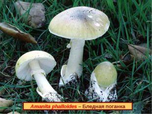 Amanita phalloides – Бледная поганка