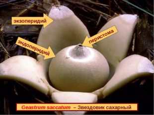 Geastrum saccatum – Звездовик сахарный экзоперидий эндоперидий перистома