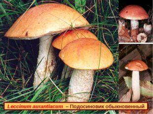 Leccinum aurantiacum – Подосиновик обыкновенный