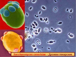 Saccharomyces cerevisiae – Дрожжи пекарские
