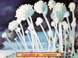 Aspergillus sp. – Аспергилл