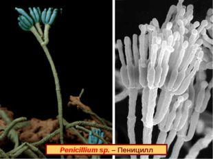 Penicillium sp. – Пеницилл