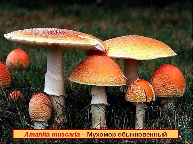 Amanita muscaria – Мухомор обыкновенный