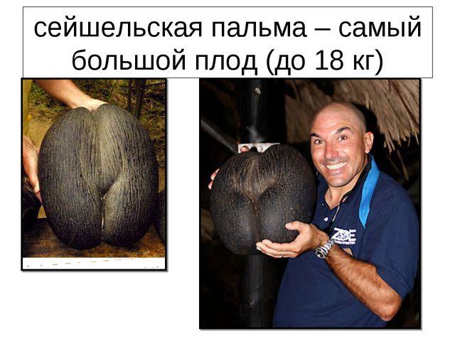 сейшельская пальма – самый большой плод (до 18 кг)