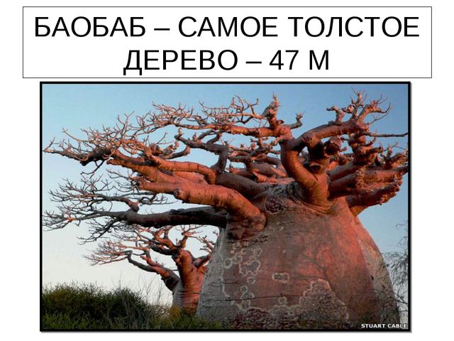 БАОБАБ – САМОЕ ТОЛСТОЕ ДЕРЕВО – 47 М