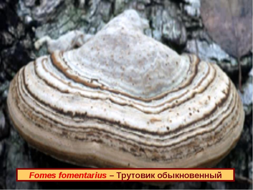 Fomes fomentarius – Трутовик обыкновенный