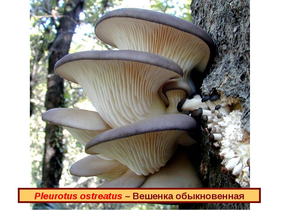 Pleurotus ostreatus – Вешенка обыкновенная