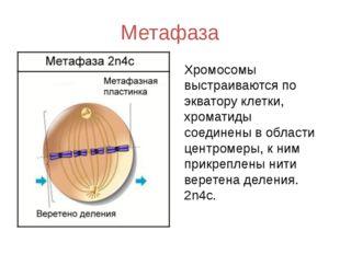 Метафаза Хромосомы выстраиваются по экватору клетки, хроматиды соединены в об