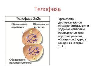 Телофаза Хромосомы деспирализуются, образуются ядрышки и ядерные мембраны, ра