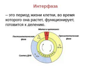 Интерфаза – это период жизни клетки, во время которого она растет, функционир
