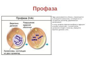 Профаза Ядро увеличивается в объеме, спирализуются и утолщаются хромосомы, со