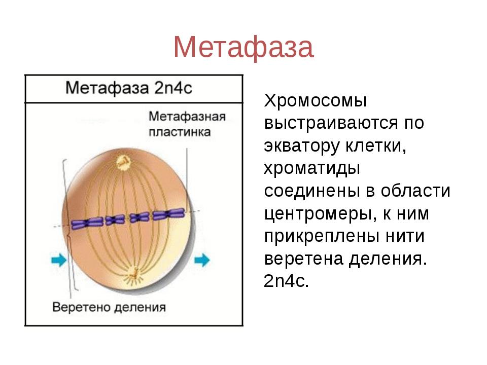Метафаза Хромосомы выстраиваются по экватору клетки, хроматиды соединены в об...