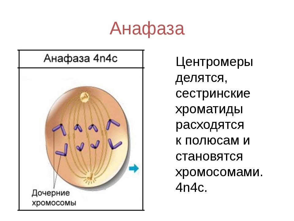 Анафаза Центромеры делятся, сестринские хроматиды расходятся кполюсам и стан...