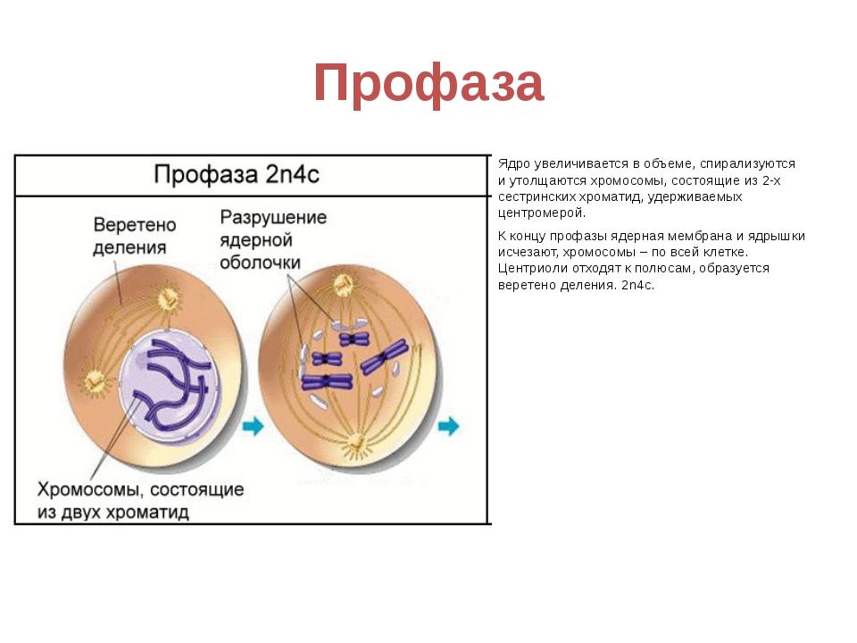 Профаза Ядро увеличивается в объеме, спирализуются и утолщаются хромосомы, со...