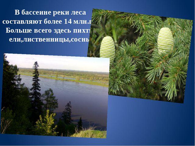 В бассеине реки леса составляют более 14 млн.га. Больше всего здесь пихты ели...