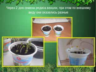 Через 2 дня семена редиса взошли, при этом по внешнему виду они оказались раз
