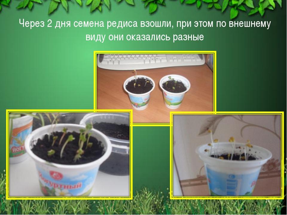 Через 2 дня семена редиса взошли, при этом по внешнему виду они оказались раз...