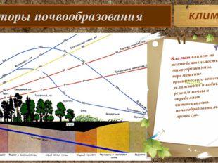 Факторы почвообразования Климат влияет на жизнедеятельность микроорганизмов,