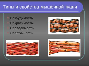 Типы и свойства мышечной ткани Возбудимость Сократимость Проводимость Эластич