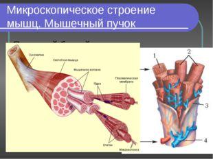 Микроскопическое строение мышц. Мышечный пучок Под какой буквой обозначены гл