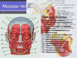 Мышцы человеческого тела Мышцы головы Мышцы головы Мышечная система человека: