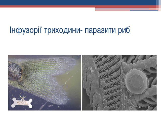Інфузорії триходини- паразити риб