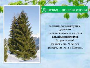 К самым долгоживущим деревьям на нашей планете относят ель обыкновенную. Возр