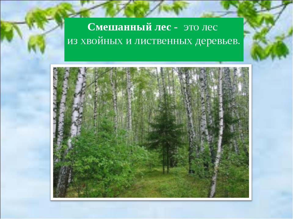 Смешанный лес - это лес из хвойных и лиственных деревьев.